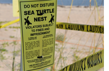 Why Turtle Season in Jupiter Gets Serious. A Cautionary Tale.